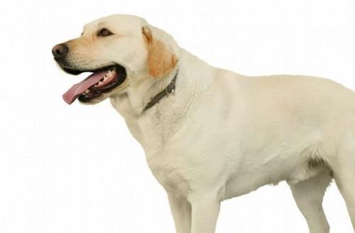 狂犬病会学狗叫吗?会不会间接传染?