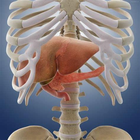 肝脏位置图你清楚吗?肝脏有哪些功能?