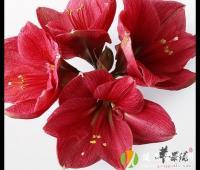 红花可以祛斑美容吗