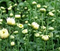 杭白菊的功效与作用有哪些?食用方法有什么?副作用有这些。